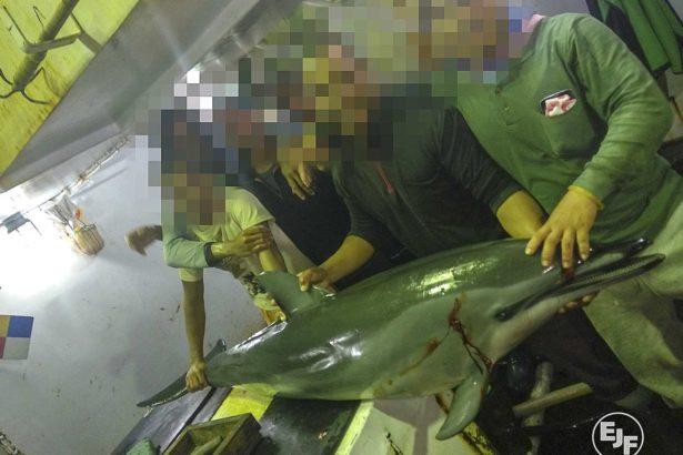 EJF揭露台灣漁船血腥屠殺!殺海豚以釣鯊魚,割鯊魚鰭棄身,呼籲嚴加管理