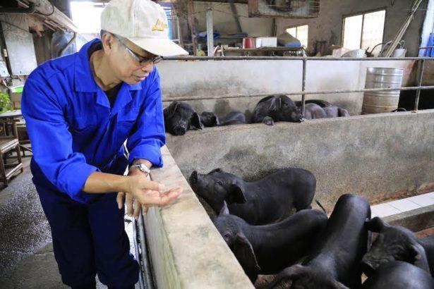 屏東豬農謝旭忠養豬近30年,飼養2,800頭黑豬。(照片提供/謝旭忠)