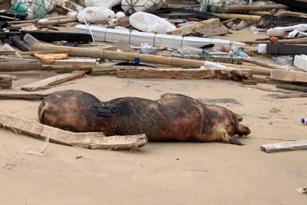 金門發現海漂非洲豬瘟洋性病例(照片提供/金門第九海巡隊)