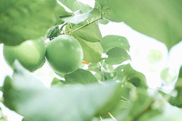 【公民寫手】《透南風。旬味》蜜棗,惡地土壤中的綠珍珠