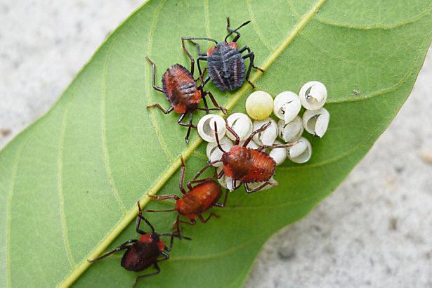 荔枝椿象幼蟲以及卵集中在葉背(圖片來源/高雄農改場)