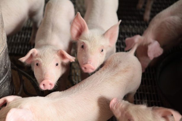 0219非洲豬瘟》越南確認爆發非洲豬瘟!即日起從越南帶豬肉品回台罰20萬