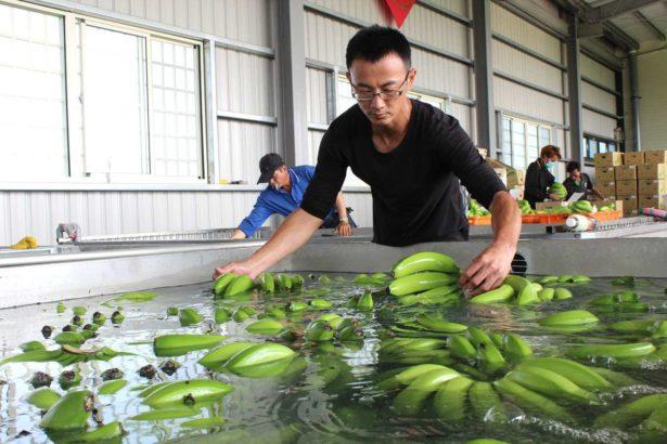 社員鄭坤河來現場幫忙香蕉外銷前的清洗工序。(攝影/林珮君)