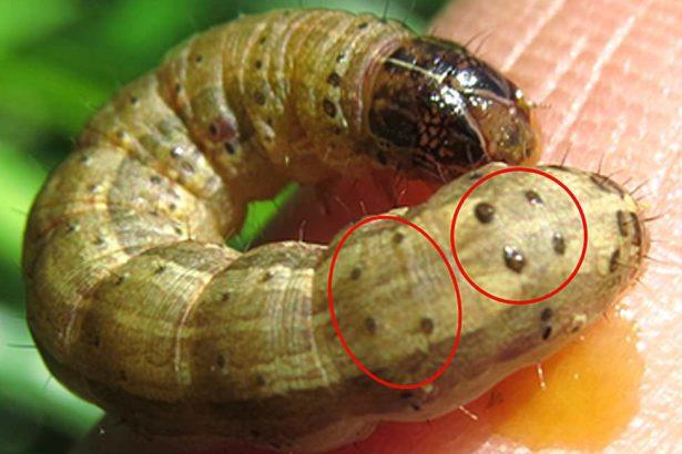 秋行軍蟲0513》從中國飛來秋行軍蟲,將造成嚴重威脅,需提高警覺