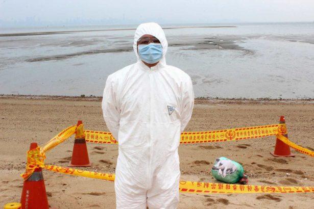若發現海漂豬,則換上全套式防護裝備,拉起三道封鎖線以保持現場及管制人員進出,並同步通報防疫所。(攝影/林珮君)