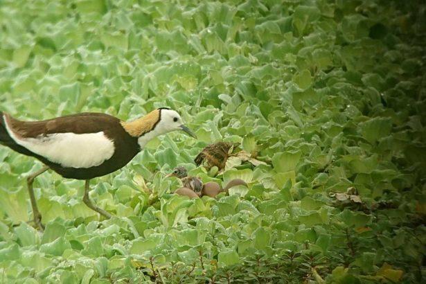 20190523第一隻公鳥終於孵出鳥寶寶了(攝影黃淑玫)