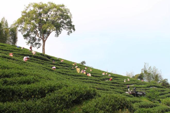 台灣首位有機茶農 勇奪比利時「iTqi食品界米其林最高等級3星獎」