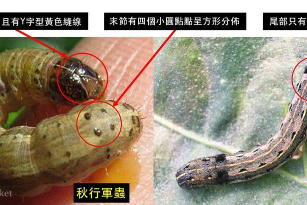 秋行軍蟲(左-James-Castner)及斜紋夜蛾(右-農業試驗所)幼蟲之區別(上下游資料照)