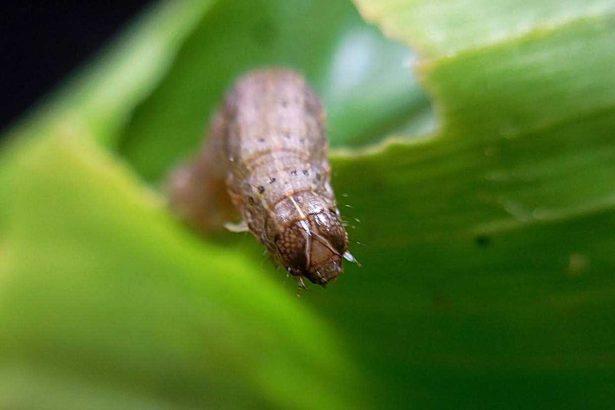 秋行軍蟲0715》雖已落地生根但危害已控制,有機田將實驗「赤眼卵蜂」寄生剋蟲