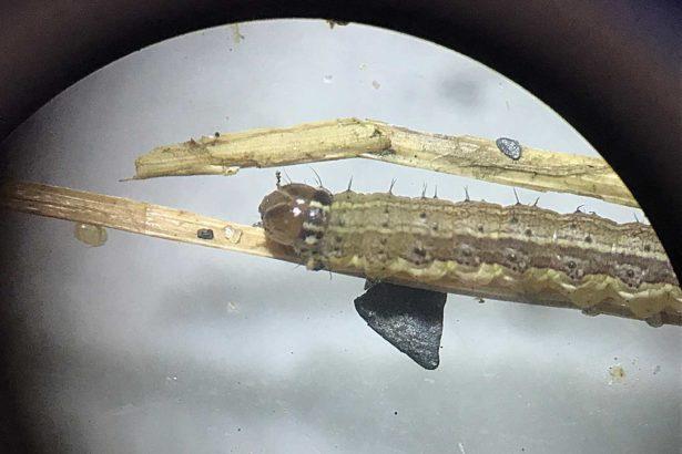 幼蟲頭殼具明顯黃色倒Y縫線。(臺南區農業改良場張淳淳提供)