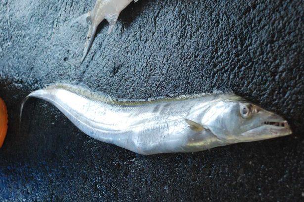白帶魚(圖片來源/徐承堉)