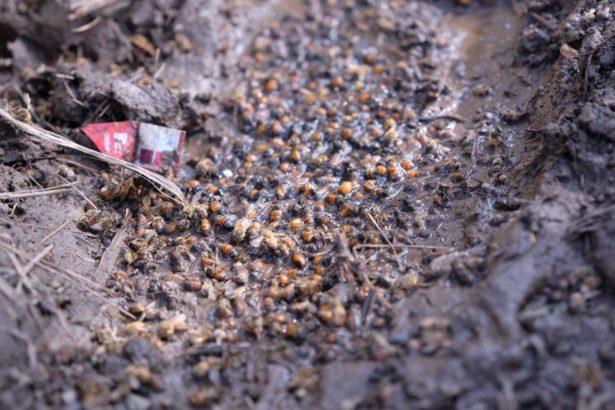 連日下雨,蜜蜂屍體陷在爛泥地中(攝影/蔡佳珊)