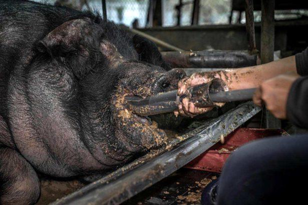 非人道的養殖包括鐵架壓身、讓其長期臥地產生褥瘡,以灌食畜養強迫增加體重等行為。台灣動物社會研究會、We Animal提供
