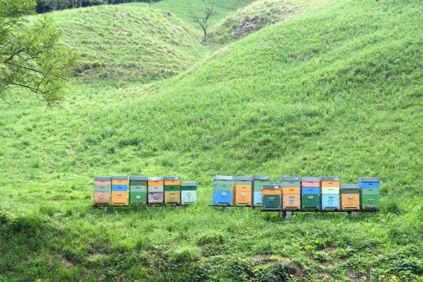 義大利禁用芬普尼、類尼古丁,蜜蜂還是不得安寧(攝影/鄭傑憶)