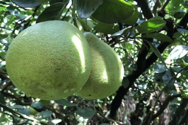 【公民寫手】香甜柚子這樣選!5撇步教你挑顆好柚