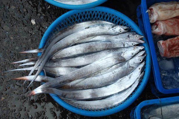 國產白帶魚。(提供/徐承堉)