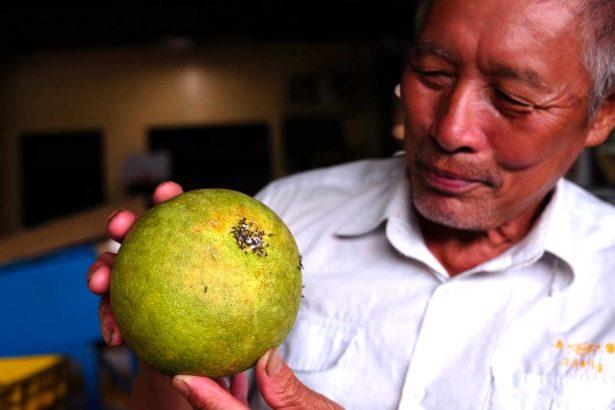 苗栗西湖龍洞村張忠志果園的疣胸琉璃蟻眾多,乾脆將有機柚子取名「蟻柚」