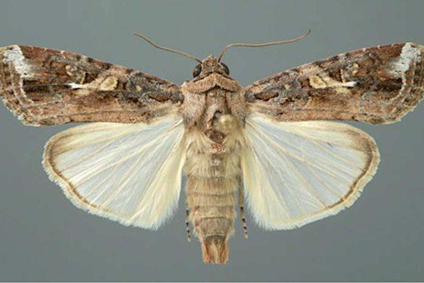 秋行軍蟲公蟲(圖片提供/農試所)