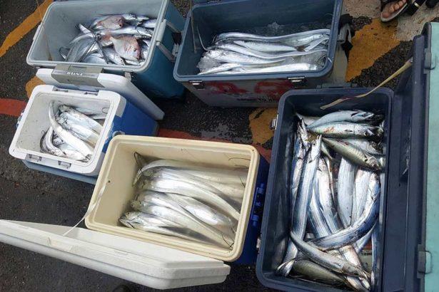 釣客反應,近年來白帶魚數量有減少趨勢,漁獲沒有過去豐沛。(提供/張峰議)