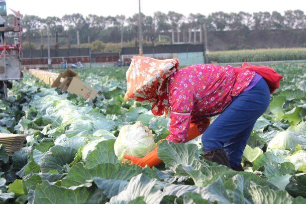 十月起進入平地高麗菜產期,工人在田間忙著採收。(攝影/林珮君)