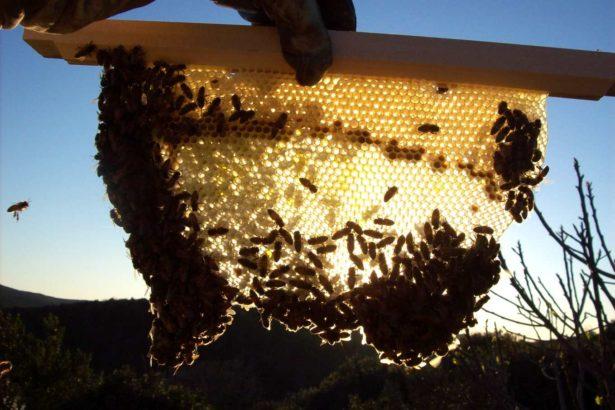 經過上千年,人類尚未成功馴養蜜蜂(攝影/P. Fontana)