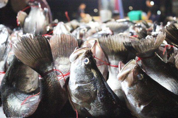 市場販售的活體弓魚(攝影/林珮君)