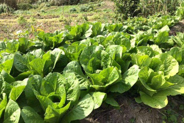 和作農社種植蘿蔓(照片來源_和作農社)
