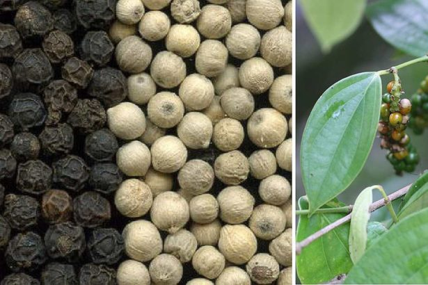 六龜地區生產的黑胡椒與白胡椒(提供/獅山胡椒園)