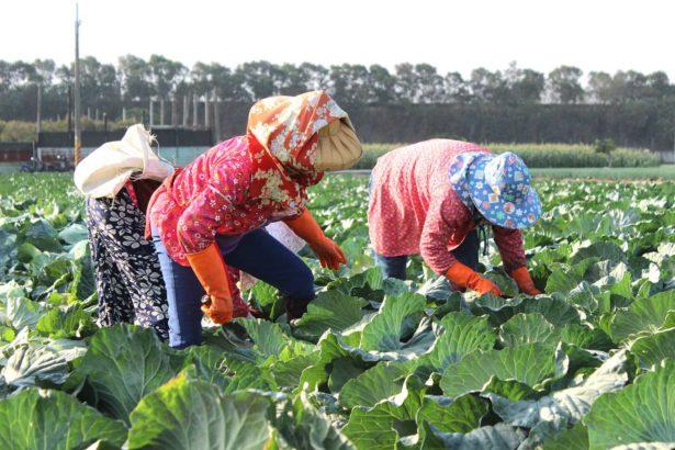 拜託不要再種高麗菜了!十一月甘藍出苗又「紫爆」,專業農痛心:若崩盤拋售,整個產業都跌倒