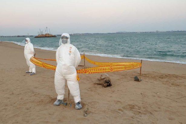 金門縣出現第12例染疫海漂豬,推估由中國沿海海漂而來。(提供/金門防疫所)