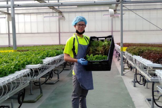 【公民寫手】台灣智慧科技於「萵苣」種植上的應用