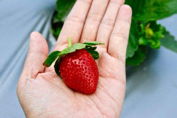 香水草莓,目前大湖鄉九成草莓品種為香水(攝影_林怡均)