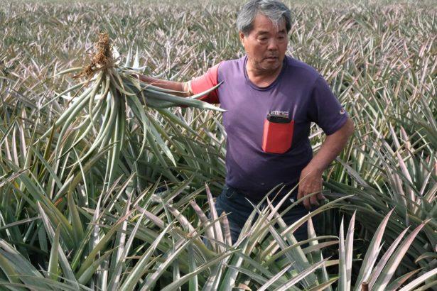 鳳梨農協助採集受損鳳梨樣本,提供藥毒所進一步分析檢驗。(攝影/林珮君)