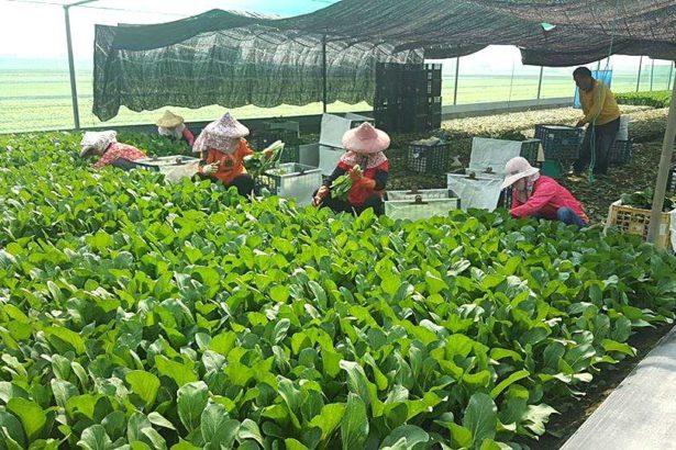 正在採收蔬菜(照片來源_正暘農產股份有限公司)