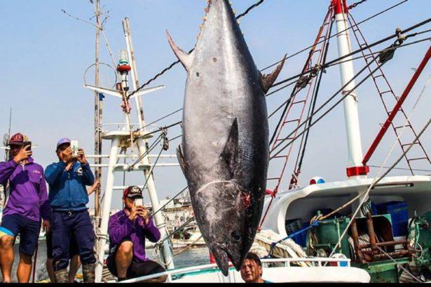剛進入產季的黑鮪魚拍賣價備受關注(圖片來源/屏東縣政府)