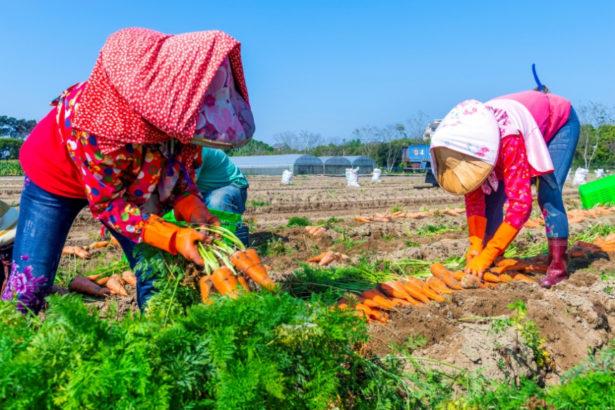 【公民寫手】種滿120天才採收的鮮甜紅蘿蔔
