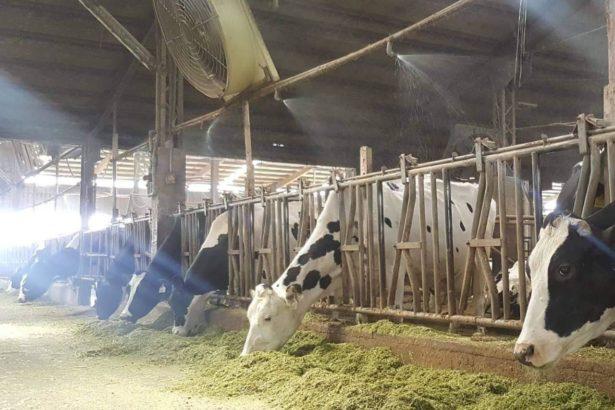 武肺衝擊》乳牛的食物拉警報,進口乾草運輸延宕,國內牧草產區陷開發流失,成未來隱憂
