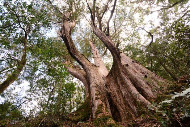 伐木雖帶走無數紅檜的身軀,卻始終帶不走紅檜所承載的回憶。攝影:謝佳倫,春山出版社提供