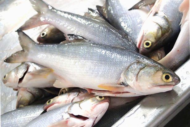 民間稱為「午仔」的午魚體型大小適中,受家用市場青睞(攝影/林吉洋)