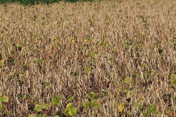 「老鷹紅豆」的自然落葉紅豆田(相片_李建輝提供)