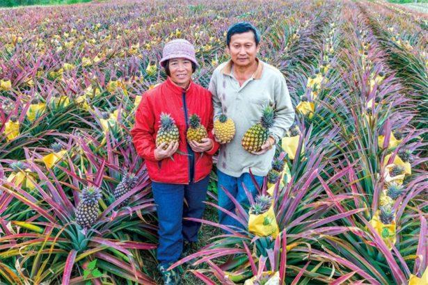 【公民寫手】瑞明農場-吃得有機苦 方得鳳梨酸又甜