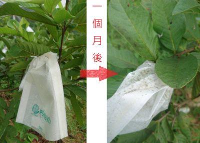 環保套袋實驗失敗。芭樂好吃,但網袋和塑袋造成許多一次性的垃圾,內心十分不安。曾實驗性用油紙袋套袋防蟲,但不透光的特質,讓果實減少日照和水霧效果,加上勤下雨,袋子都發霉了果實還未成熟。畢竟平地的氣溫過高又過溼,油紙袋用一次就髒污,無法重覆使用。此題暫時還無解。