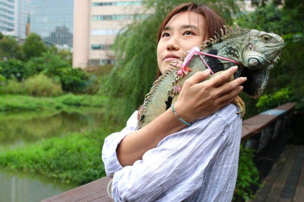 對飼主而言,綠鬣蜥存在於寵物市場、也有一定愛好者,一昧的打壓只會讓存在轉入地下,不如採取有效的管理。(攝影/林吉洋)