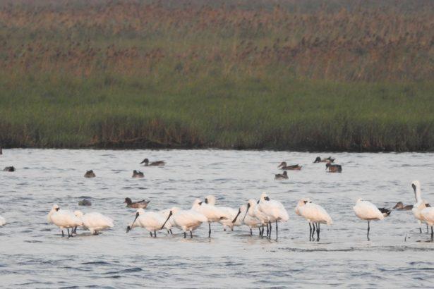 光電案場旁水域可以看到黑面琵鷺群體棲息。(攝影/林吉洋)