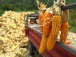 奇美部落硬質玉米