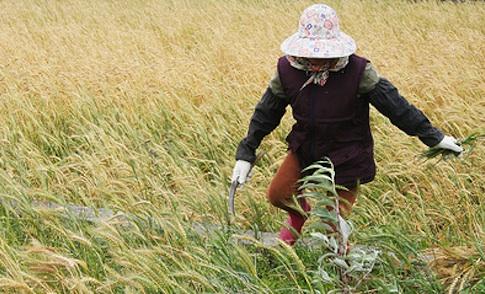 好農壯遊(5)小麥復耕 急缺人才設備