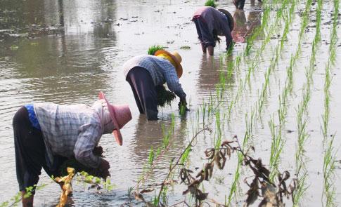 在田間,尋找人工插秧的風景