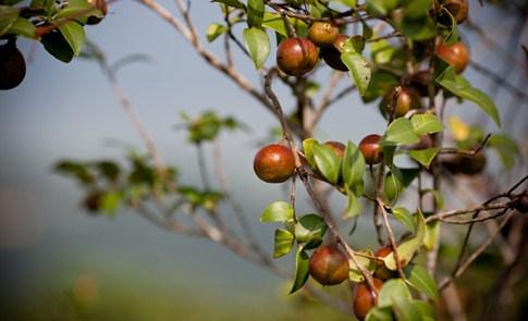 崙山部落:在地原鄉的山茶花籽油