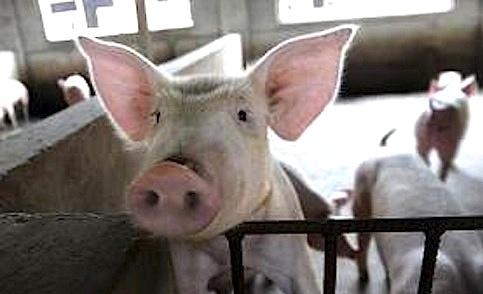 我們反對美牛瘦肉精的 5 大理由 :台灣農村陣線聲明