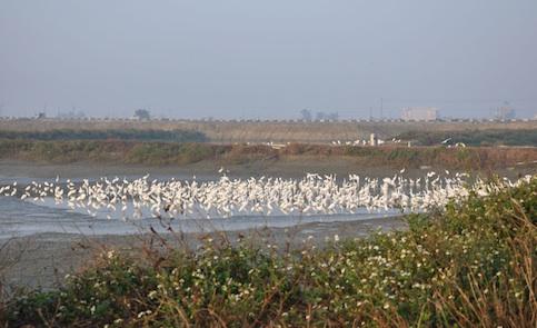 魚鳥共生:生態養殖池,黑琵回來了